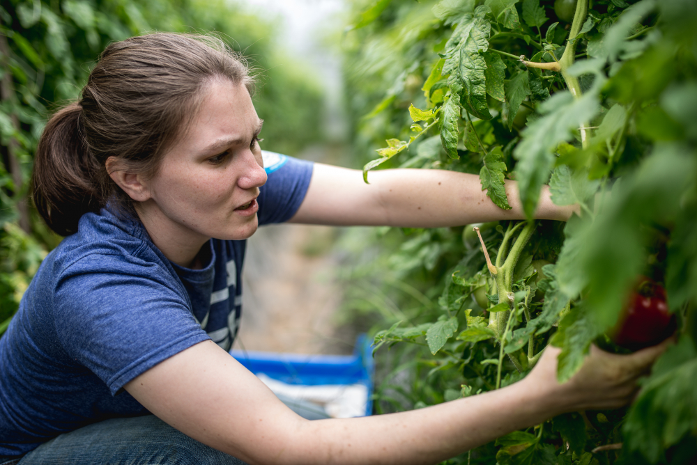 A student picking tomatos off plants.