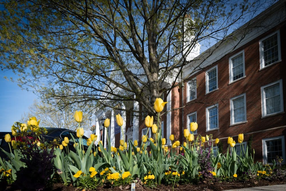 Derryberry in Spring, yellow tulips