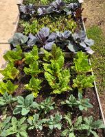 growing veggies in the Food Pantry garden